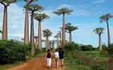Na Madagaskaru se projdete ve stínu obrovitých baobabů