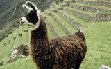 Oblíbenou lamu naleznete především v Peru