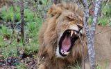 Velká pětka: Mezi nejnebezpečnější zvířata Afriky patří lev, ale i buvol. Proč?