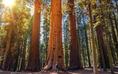 Sekvoje obrovská, nejmohutnější živý organismus planety | Sequoia NP