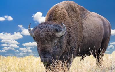 Bizon, spolu s vlky král rezervace | Yellowstone NP