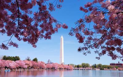 Washington Monument oděn do květů japonských třešní Sakura | Washington D.C.