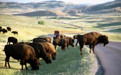 Bizoni v Custer SP | Black Hills