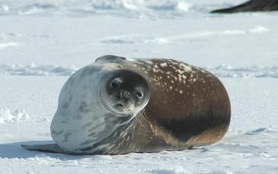 Tuleň wedellův