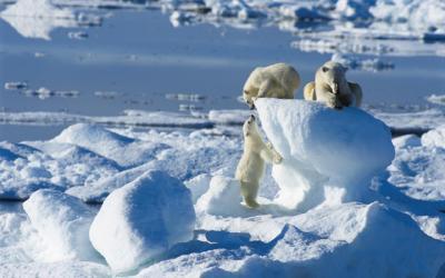 Špicbergy |  Ice Bear