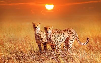 Gepardi v Masai Maře