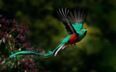 Kvesal Chocholatý | Kostarika