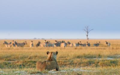 Chobe NP, na lovu... | Botswana