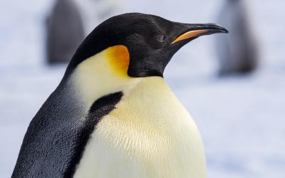 Jeho Veličenstvo tučňák císařský