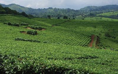 Uganda | Fort Portal_čajové plantáže