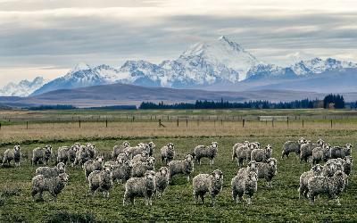 Nový Zéland | Ovce