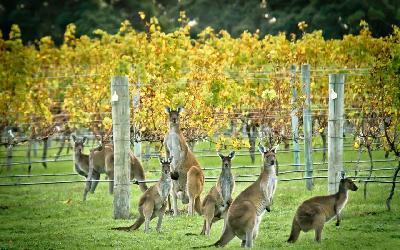 Australia | Wine
