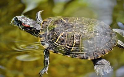 želva malá